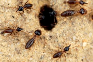 land termites